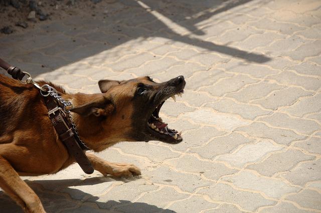 chien très agressif