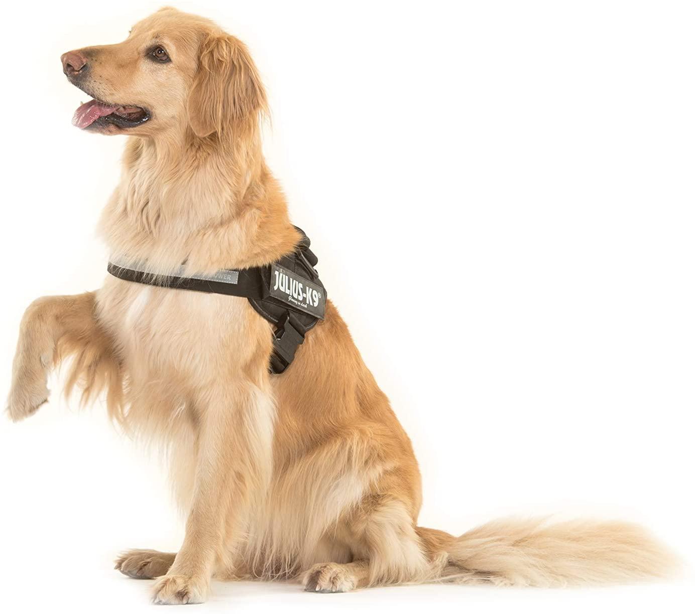 dressage chien harnais