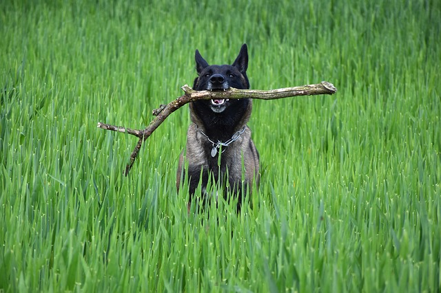 obéir chien