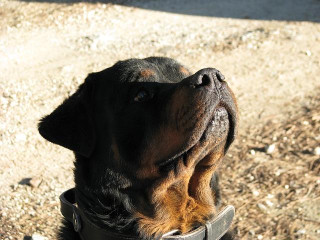 dressage chien comment faire